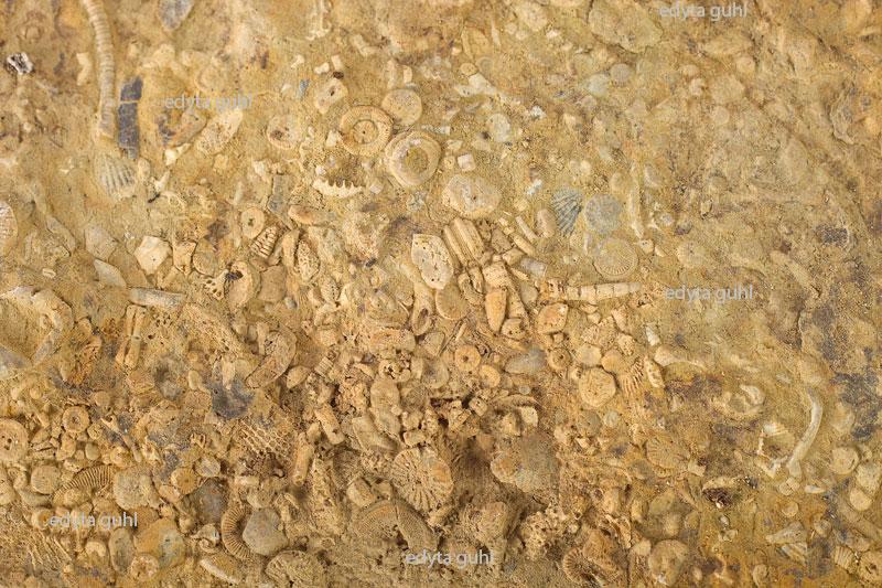 eifel-fossilien