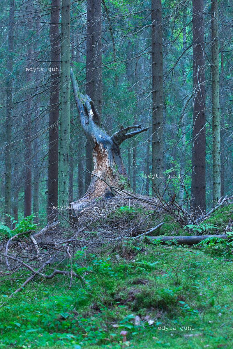Baum wie ein Hirsch. Edyta Guhl.