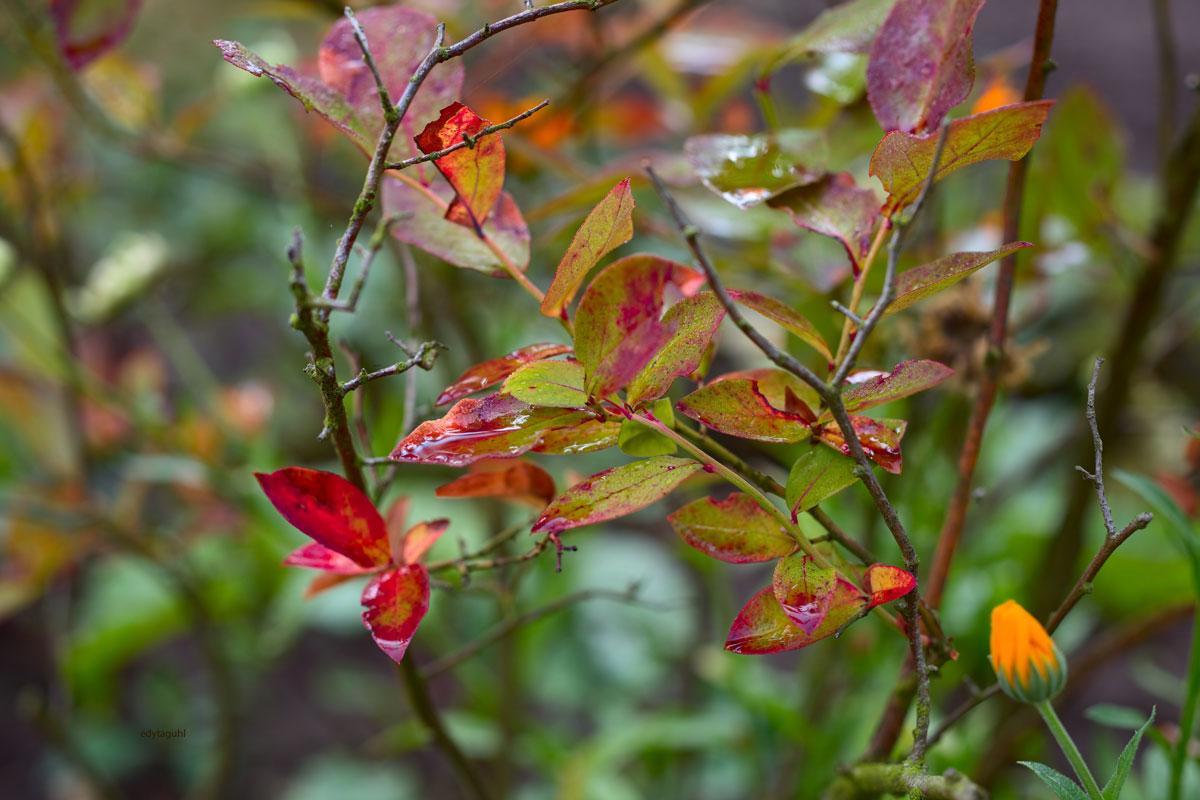 Beeren-Blätter-im-Garten