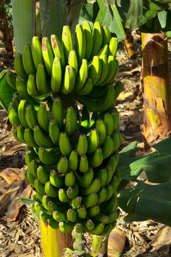 Bananen-auf-Teneriffa