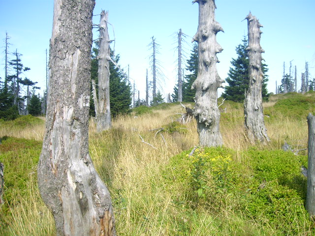 Bäume in den Bergen. Riesengebirge. Edyta Guhl.