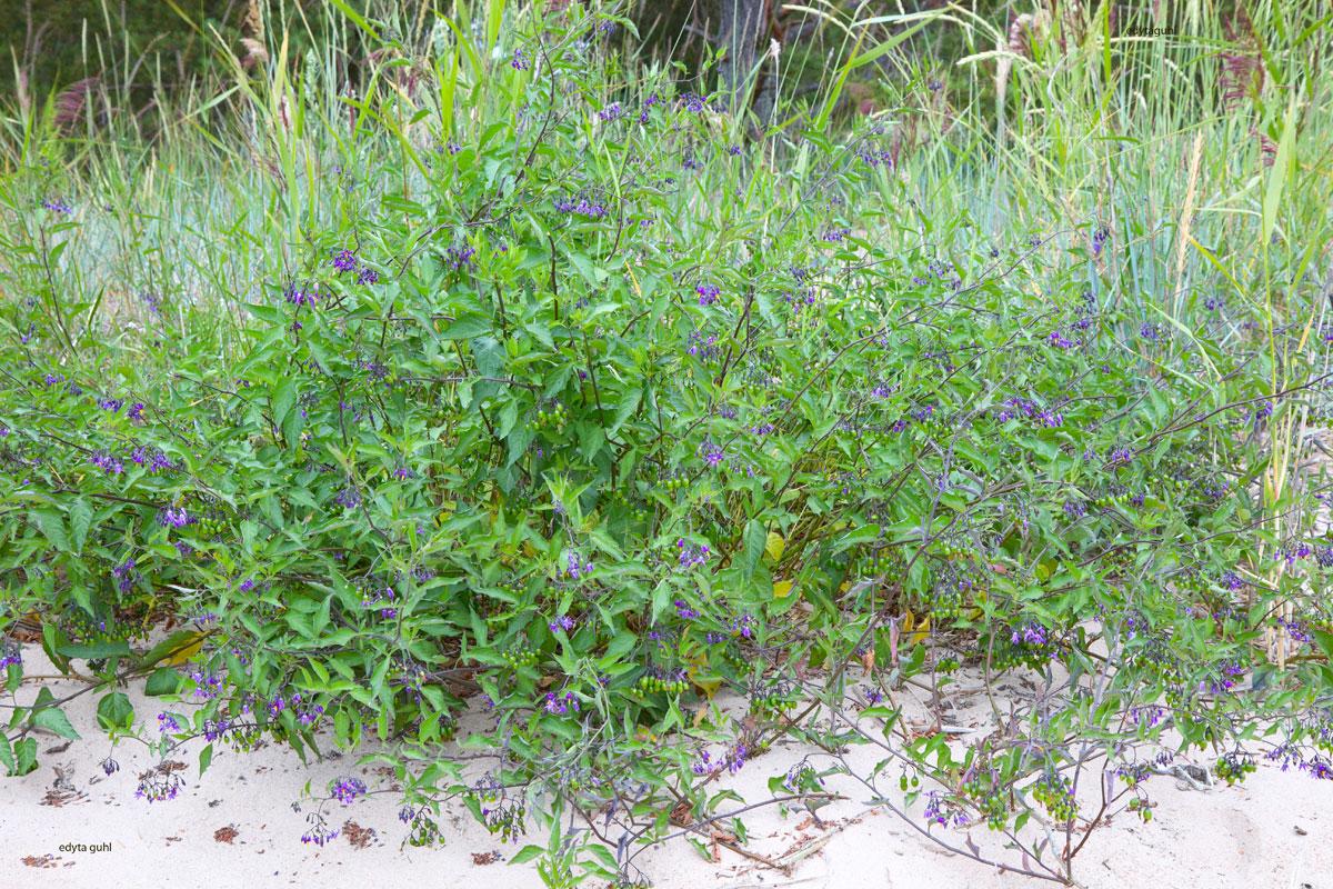 flora-in-yyteri-Finnland